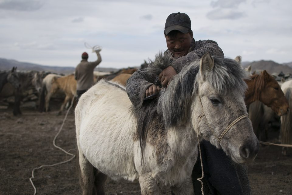 Otgo cutting a horse's mane while Ganbold ropes another horse in the background. With little verbal communication, the herders worked as a unit to cut the hair of around 50 horses.