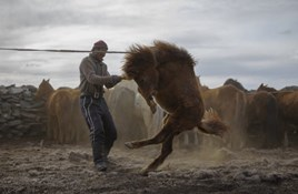 "A Haircut for Mongolia's ""Half-Wild"" Horses"