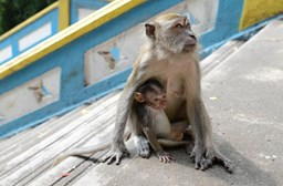 Monkey Madness in Malaysia: Tips to Keep You Safe