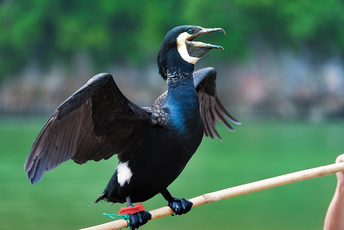 The fishermen send the cormorants into the water to catch fish and bring them back into the boat. To ensure the birds do not swallow all of the fish, a snare string will be attached to the bird's neck, stopping the cormorant from eating the larger fish.
